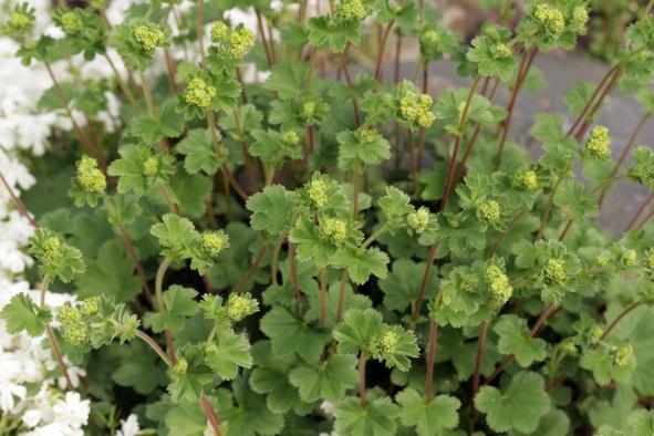 Сизо-зеленые, округлые листья