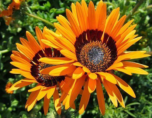 Краевые цветки оранжевые, с пурпурно-коричневым основанием