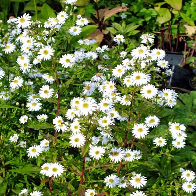 Мелкие белые соцветия