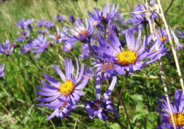 Фиолетово-пурпурные соцветия