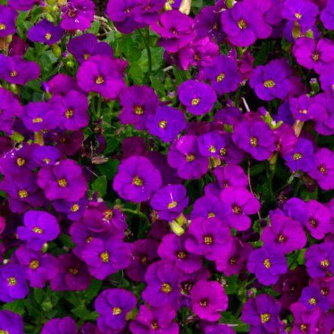 """""""Purple Cascade"""""""