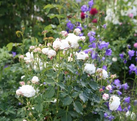 Крупные, махровые белые цветки