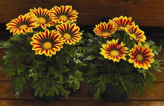 Соцветия оранжевые