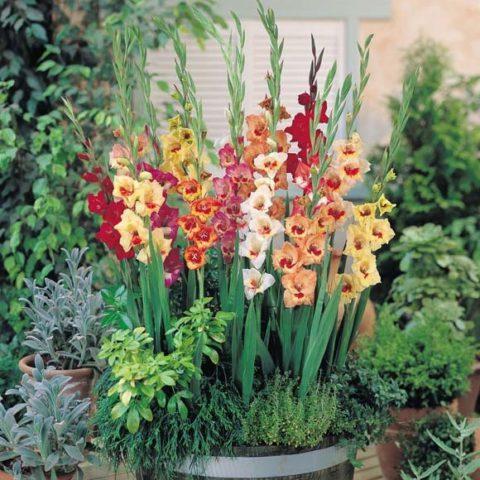 Высокие колосовидные соцветия