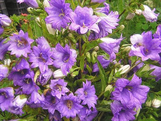 Обладает небесно-голубыми округлыми цветками