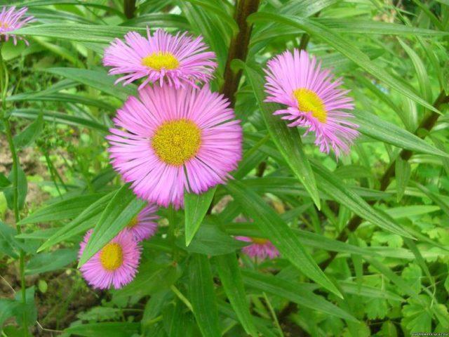 Цветки розово-лиловые