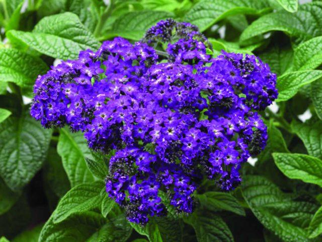 Лавандово-голубые цветки
