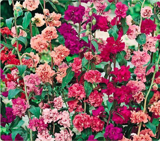 Цветки чашевидные, состоящие из четырех сиреневых лепестков