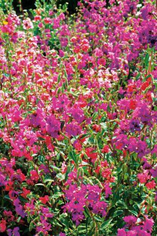 У сорта большое разнообразие цветков