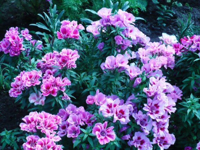 Цветки розовые, пурпурные и белые, полумахровые