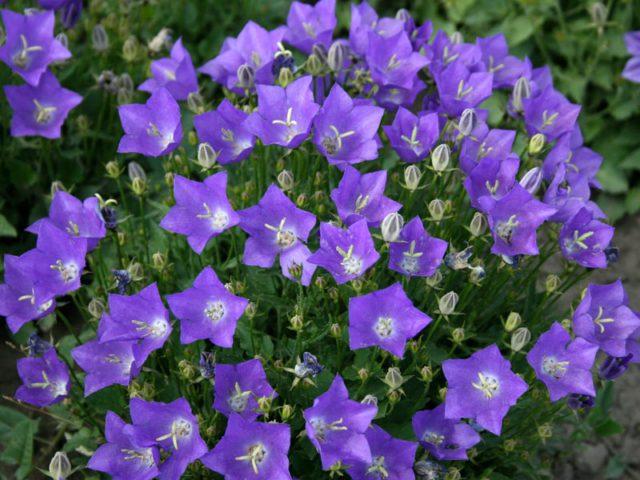 Светло-фиолетовые цветки