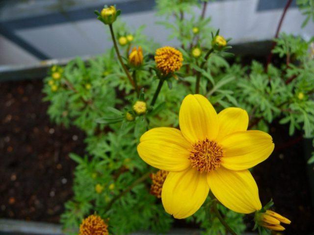 Желтые соцветия в изобилии появляются с начала лета