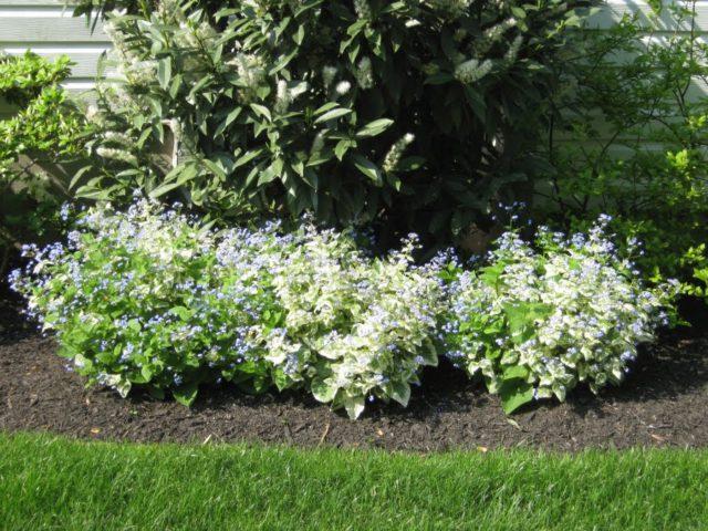 Белые цветки и пестрые листья