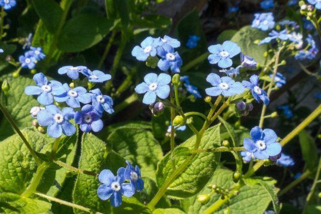 Мелкие голубые цветки