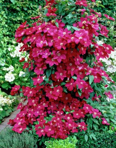 Сорт с крупными красными цветками до 15 см в диаметре
