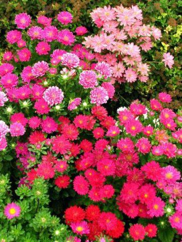 Соцветия простые, от белой до фиолетовой окраски