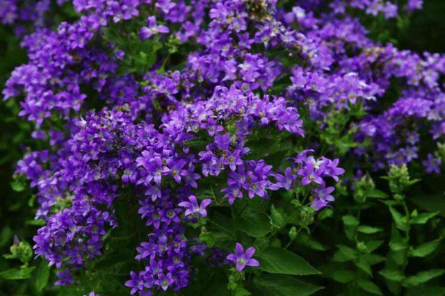 Сорт образует фиолетово-синие цветки