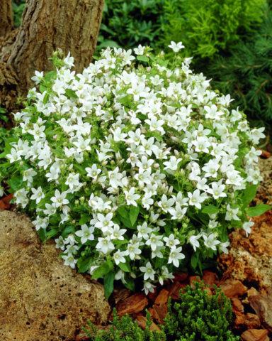 Цветки многочисленные, небольшие