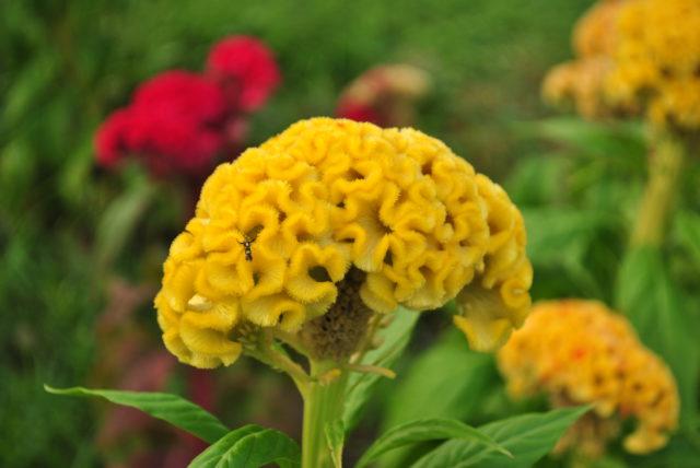 Соцветия похожи на петушиные гребни