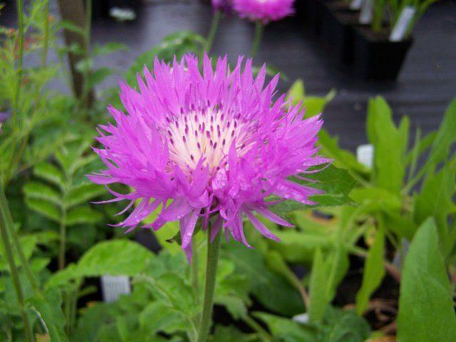 Соцветия розовые, до 7,5 см в диаметре