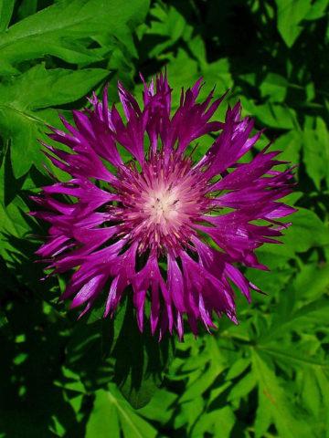 Цветки карминово-сиреневые