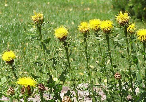 Соцветия крупные, желтые