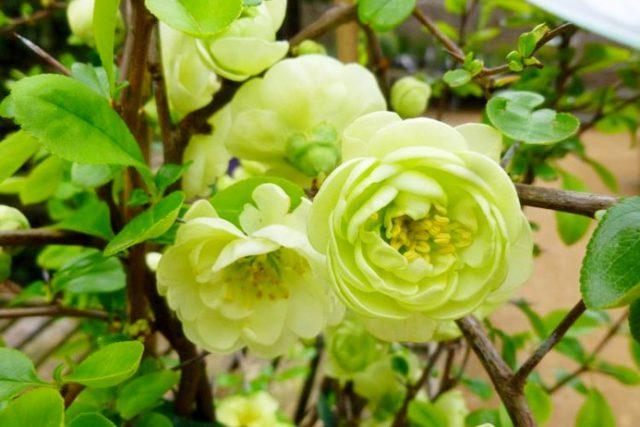Кластеры из цветков появляются на многоствольном кустарнике
