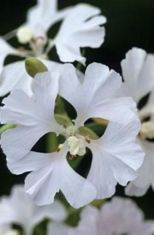 Сорт с махровыми белыми цветками