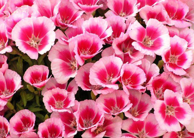 Цветки лососево-розовые с белыми краями