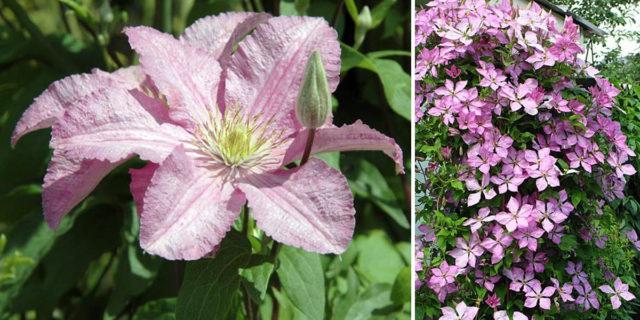 Сорт образует бледно-пурпурные цветки