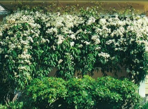 Группы кремово-белых цветков