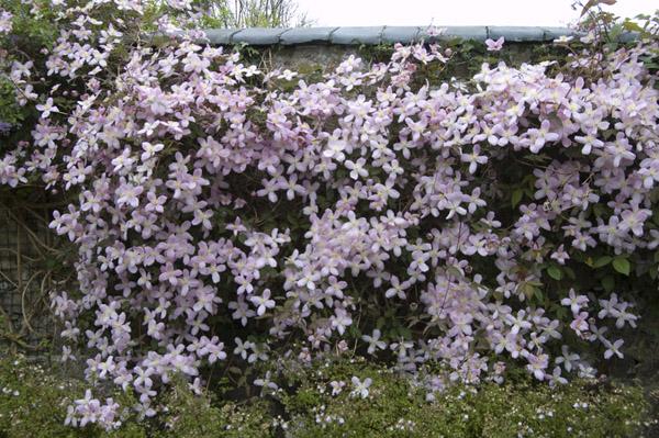 Характерны светло-розовые цветки