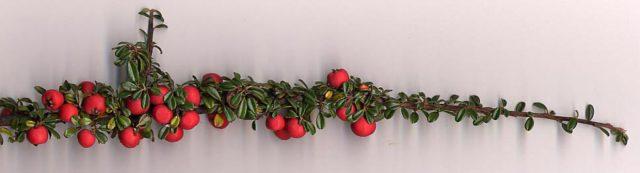 Крупные темно-розовые ягоды