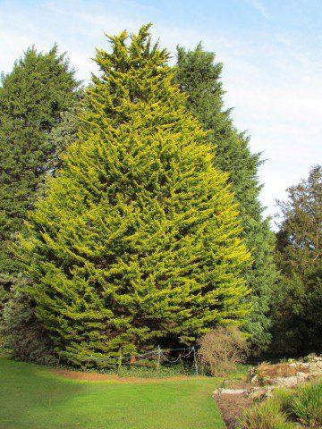Колонновидное дерево с ярко-желтой листвой