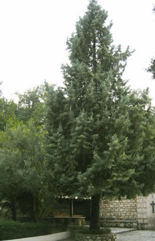 Дерево с узкой конической кроной