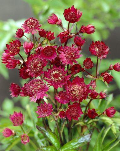 Розоватые цветки