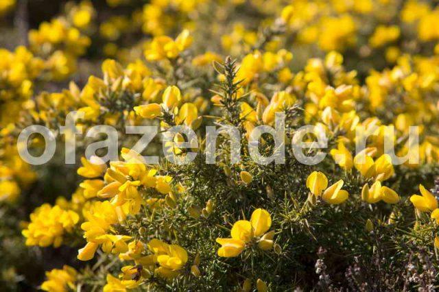 Растение Дрок: фото, виды, выращивание, посадка и уход
