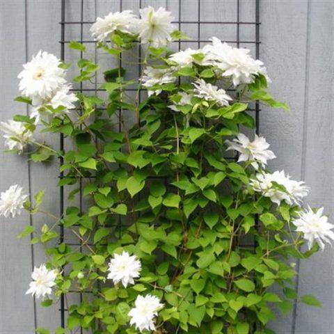Цветки махровые, белые