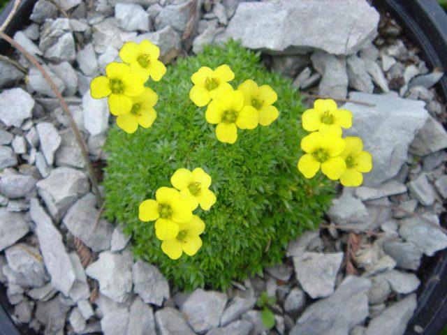 Разновидность более мелких размеров цветков