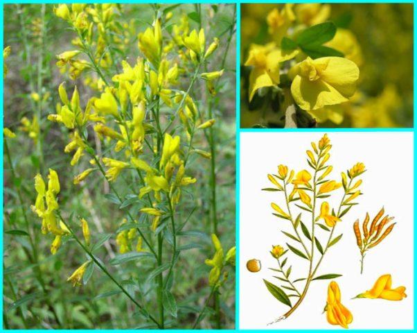 Золотисто-желтые цветки, собранные в многочисленные кистевидные соцветия