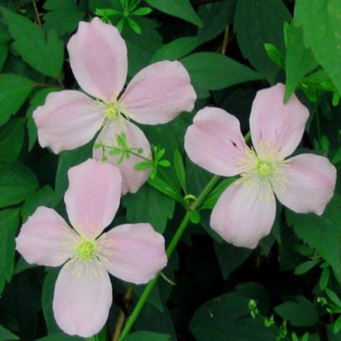 Сорт в начале лета дает кремово-розовые цветки