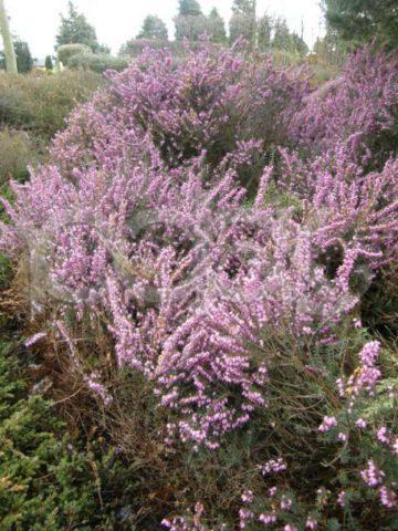 Розово-лиловые цветки и темно-зеленые листья