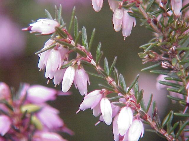 Элегантное прямостоячее растение с розовыми бутонами