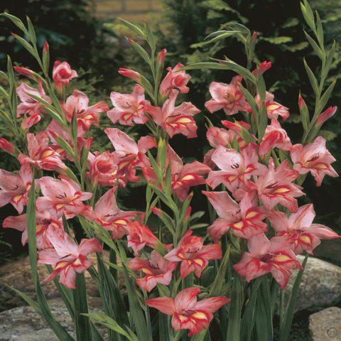 Темные розовые цветки с красными краями
