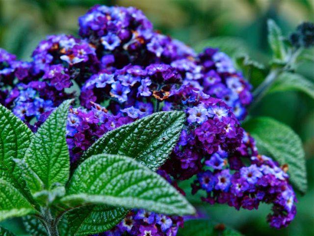 Светло-голубые цветки с приятным ароматом
