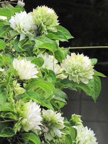 Крупные бархатистые цветы