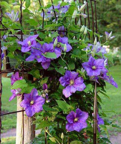 Цветки из шести фиолетовых или голубых, волнистых по краям листочков