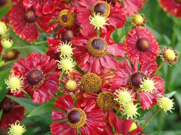 Соцветия приглушенного красно-коричневого цвета
