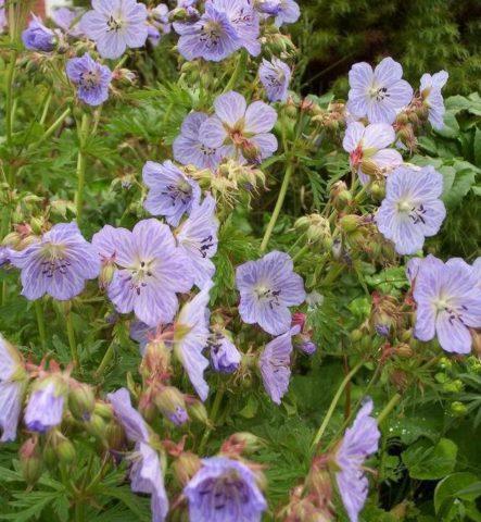 Плоские лавандово-синие цветки