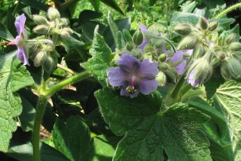Цветки довольно плоские, светло-сине-фиолетовые